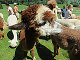 GTB-Ausflug zu den Lamas und Alpakas